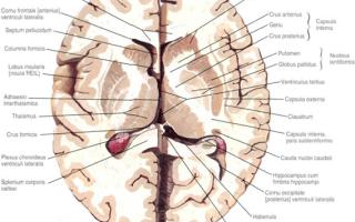 Кора головного мозга: тонкий слой серого вещества