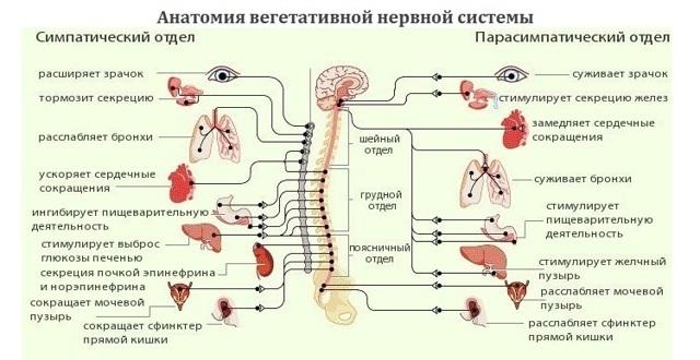 Вегетососудистая дистония: причины и симптомы заболевания