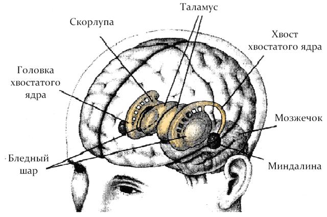 Ядра головного мозга: строение и функции
