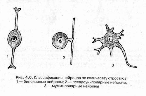 Строение нейрона: составные части нервной клетки
