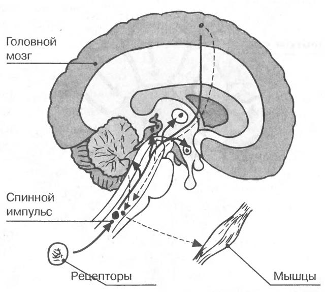 Чувствительный нейрон или сенсорная нервная клетка