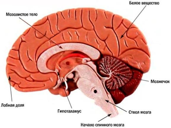 Головной мозг человека: отделы и системы