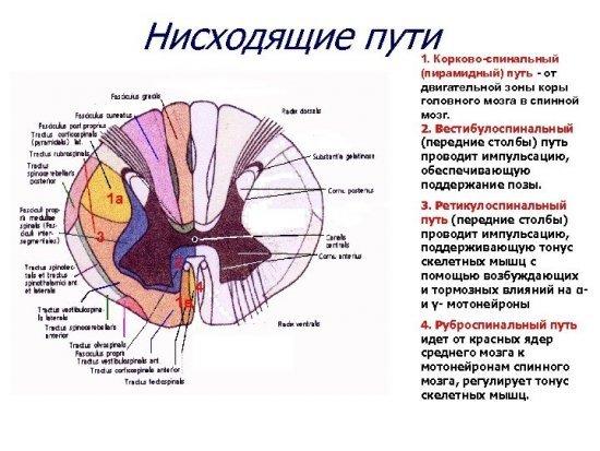Проводящие нисходящие и восходящие пути головного и спинного мозга: схема и расположение