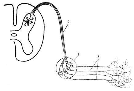 Свойства нейронов: возбудимость, проводимость, регенерация