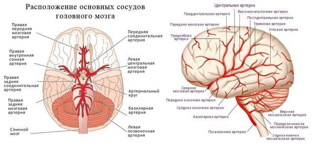 Кровоснабжение головного мозга: основные артерии и вены головы