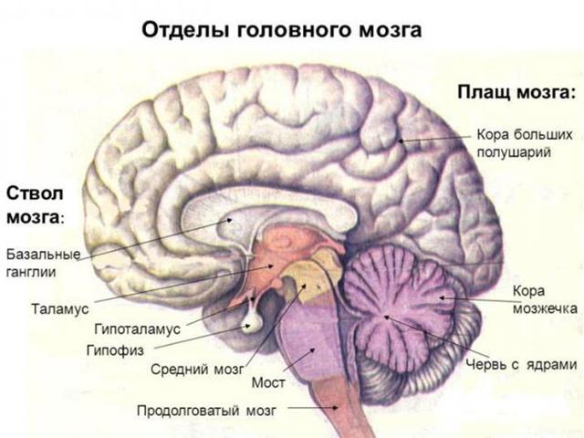 Системы мозга: передний, задний, средний, промежуточный