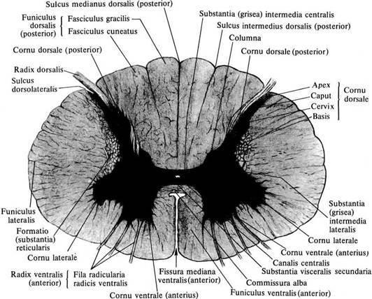 Корешки спинного мозга: передние и задние корешковые нити