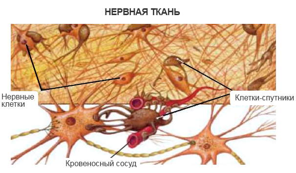 Нейроны головного мозга: функции и строение нервных клеток