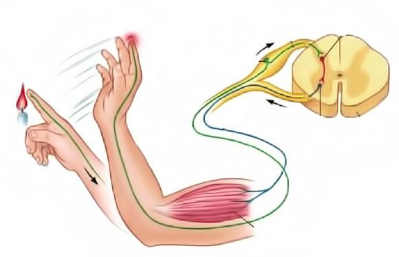 Строение спинного мозга человека и его функции