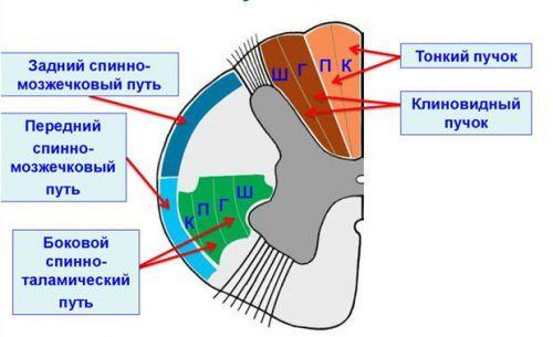 Пути спинного мозга: восходящие и нисходящие