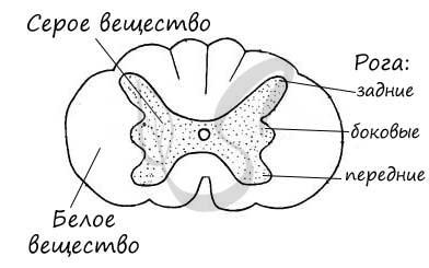 Центральная нервная система: головной и спинной мозг
