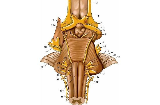 Ствол мозга человека: строение, функции, заболевания
