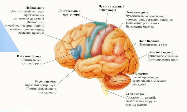 Доли головного мозга: функции и назначение зон полушарий