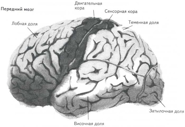 Зоны мозга человека: особенности строения и функции